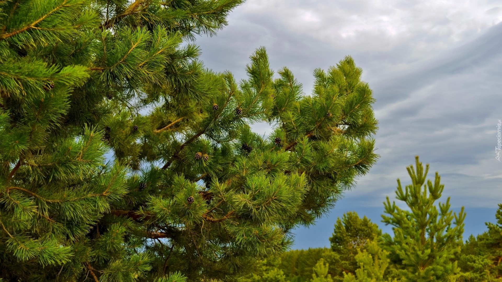 Pine Tree HD Download