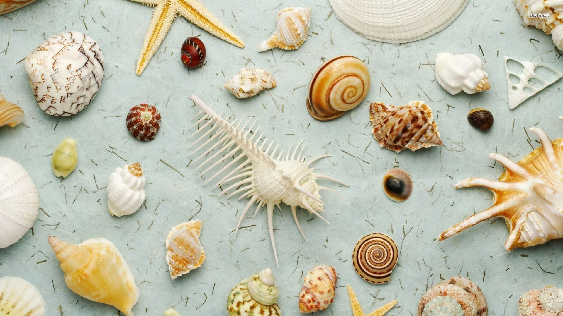 Seashell hd desktop wallpaper