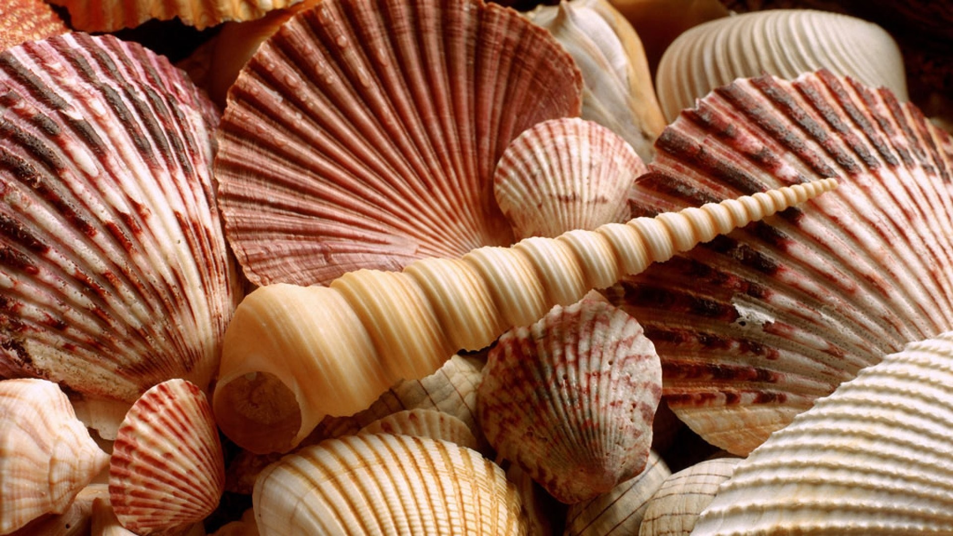Seashell Full HD Wallpaper