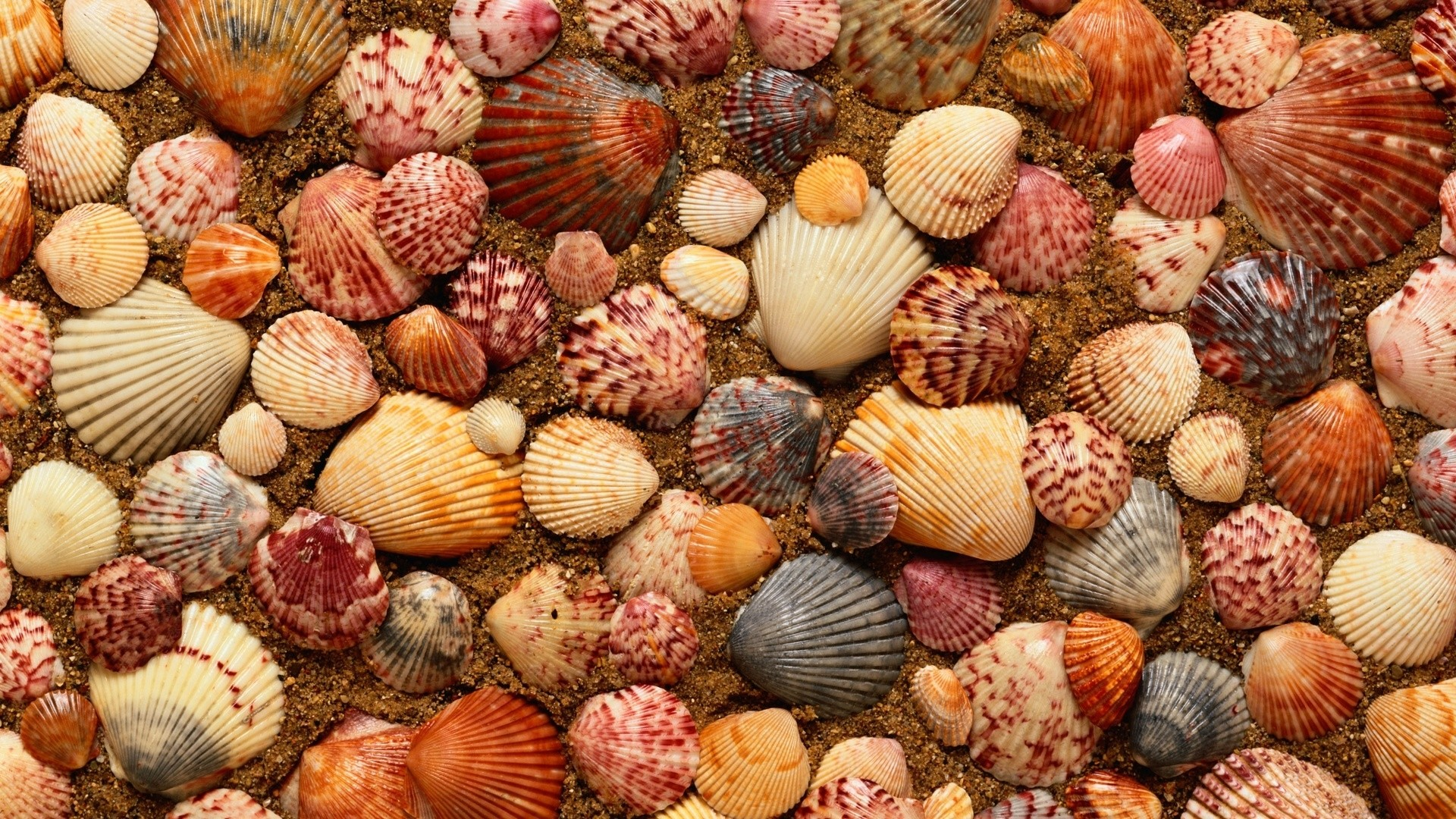 Seashell hd wallpaper download