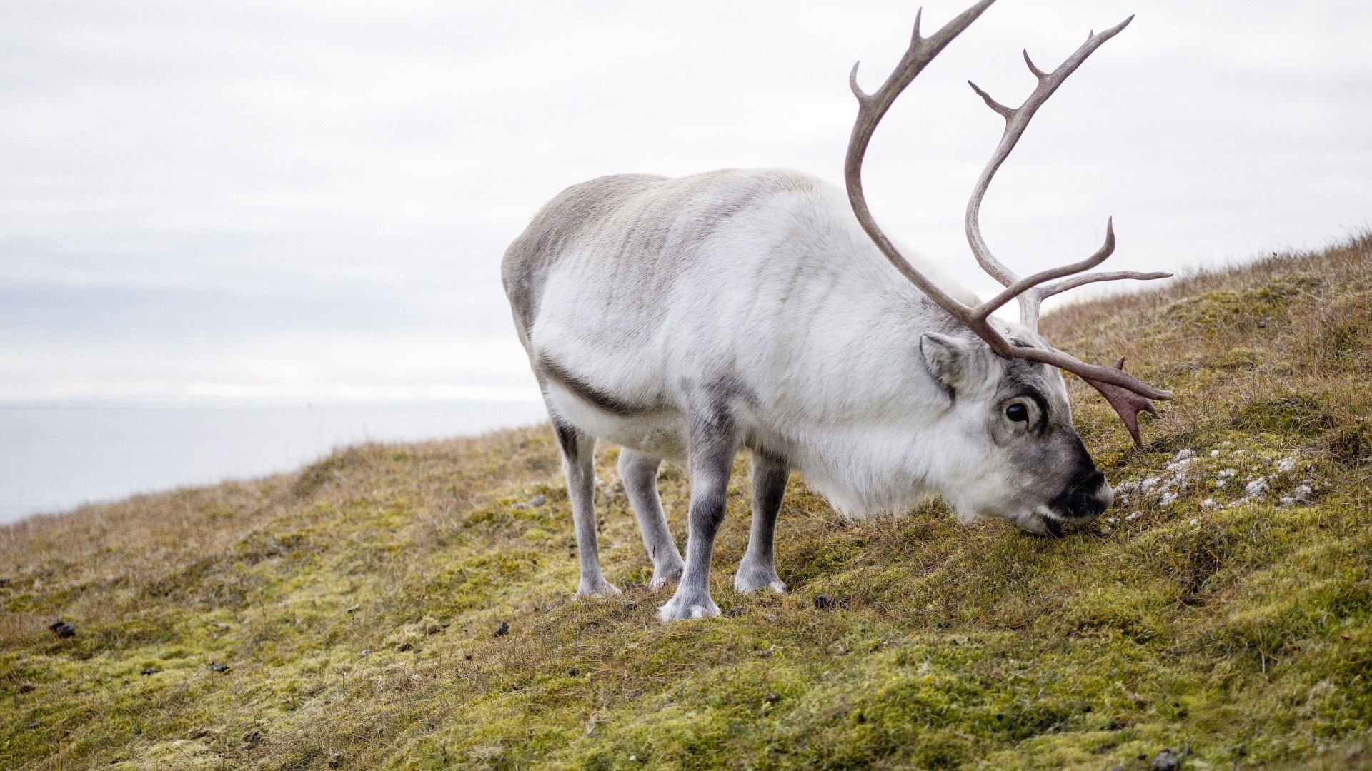 Reindeer wallpaper photo hd