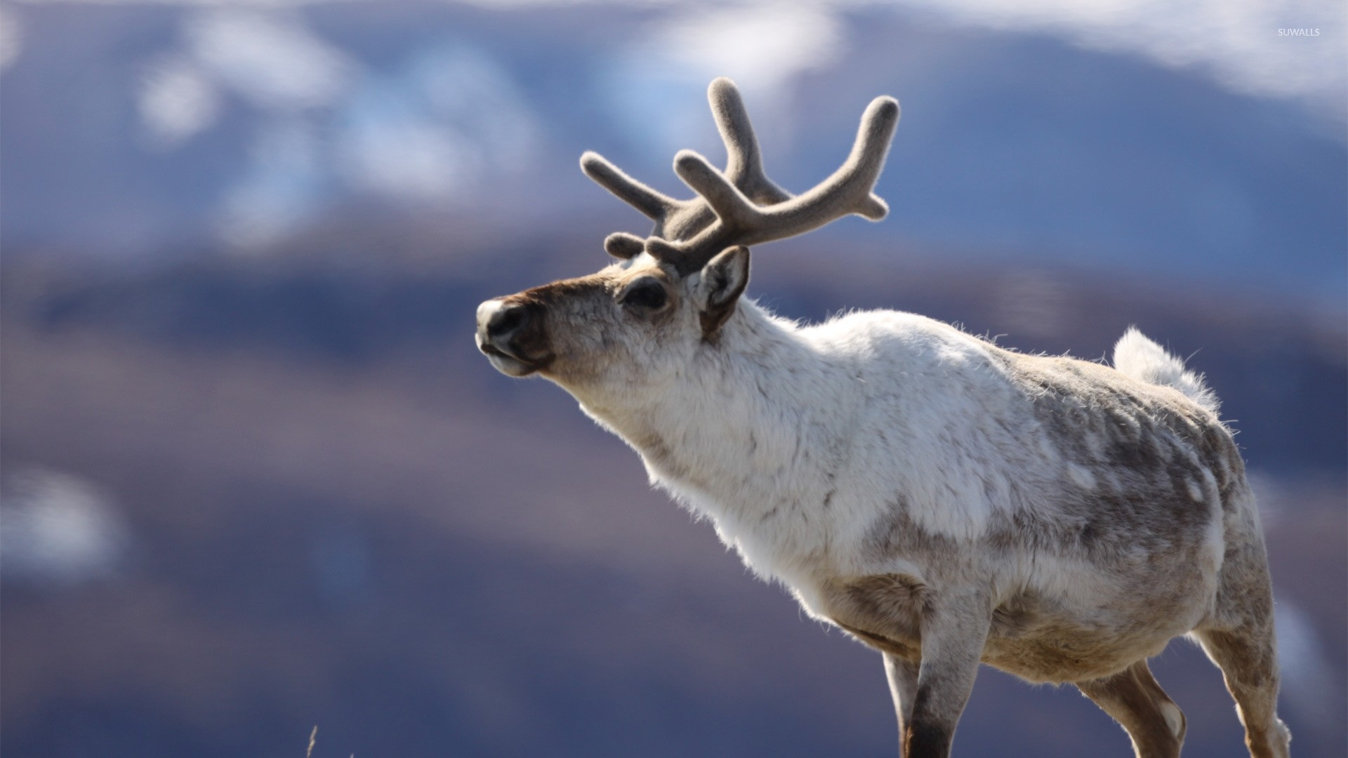 Reindeer PC Wallpaper HD