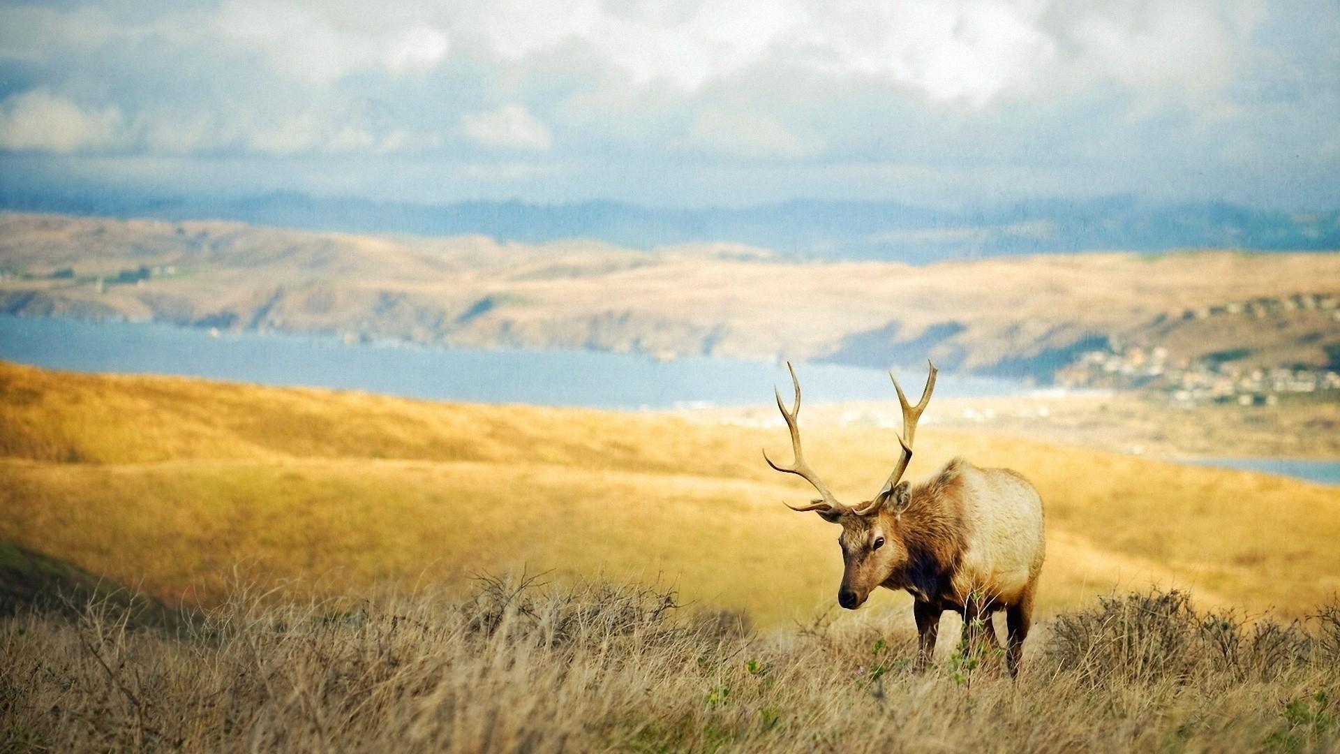 Elk Full HD Wallpaper