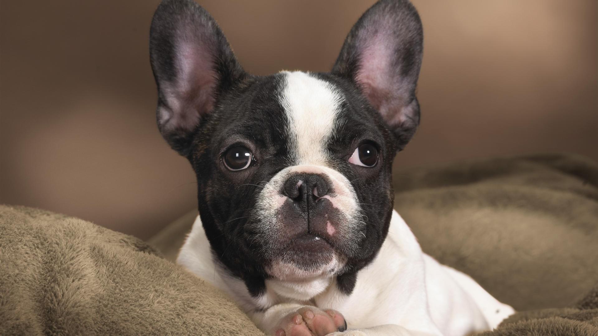 French Bulldog Desktop Wallpaper