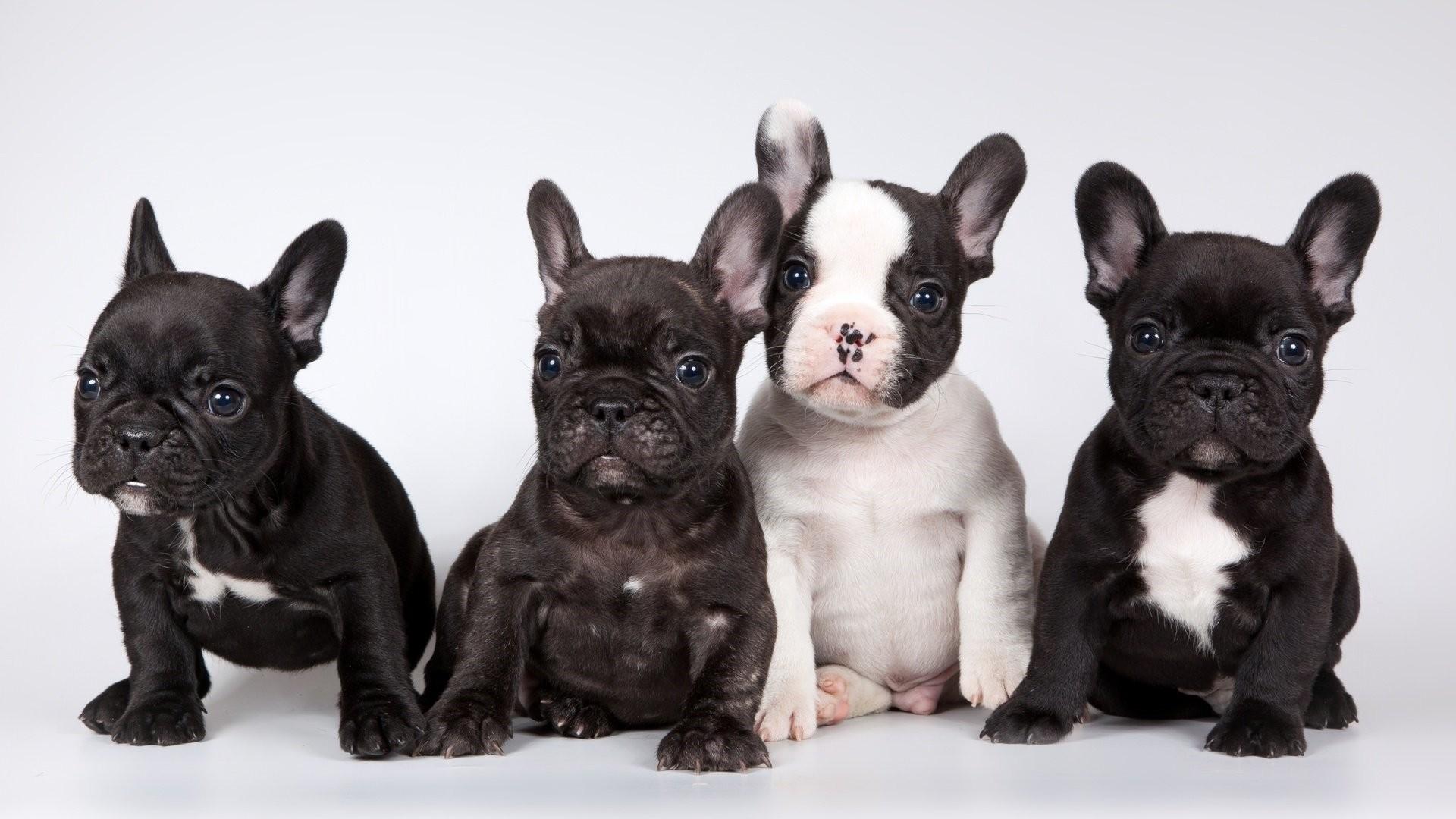 French Bulldog Image
