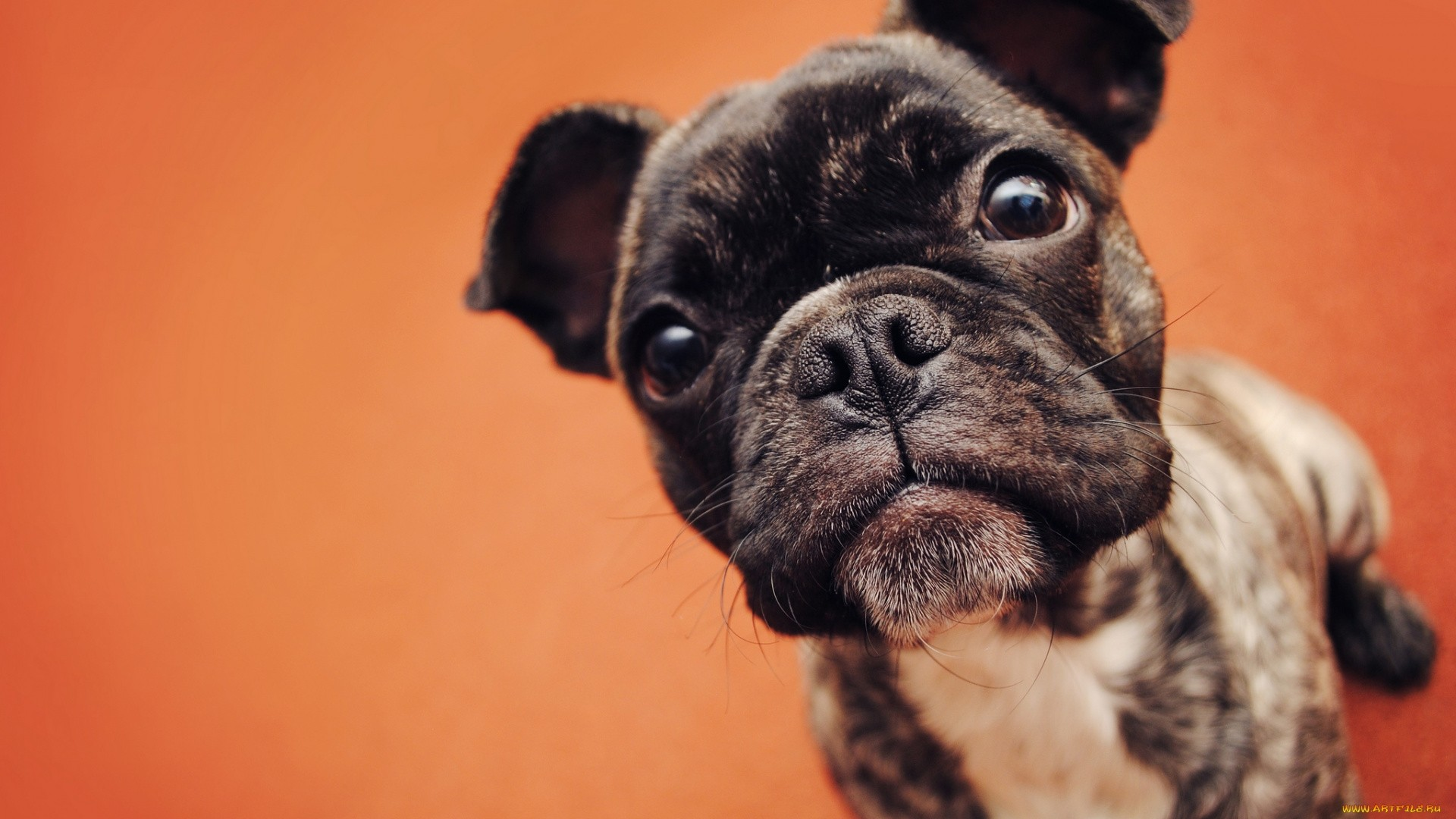 French Bulldog Pic