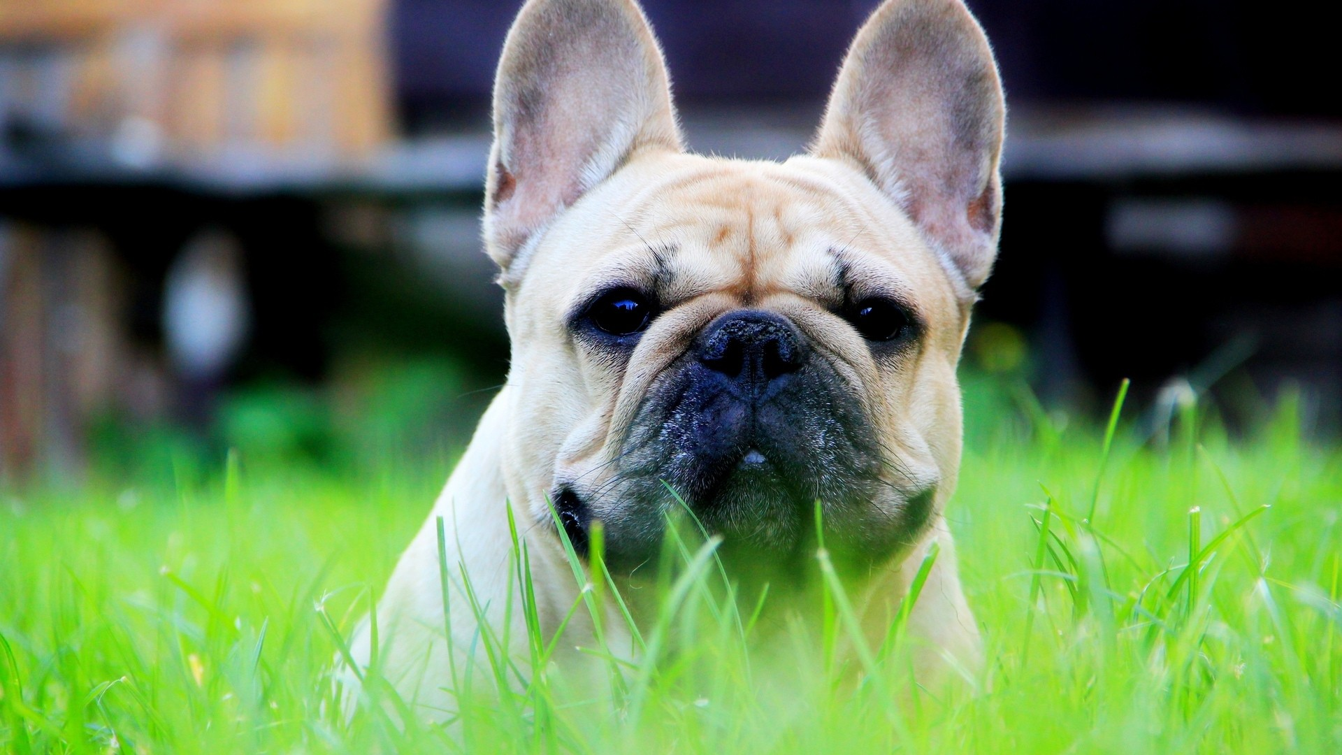 French Bulldog hd wallpaper download