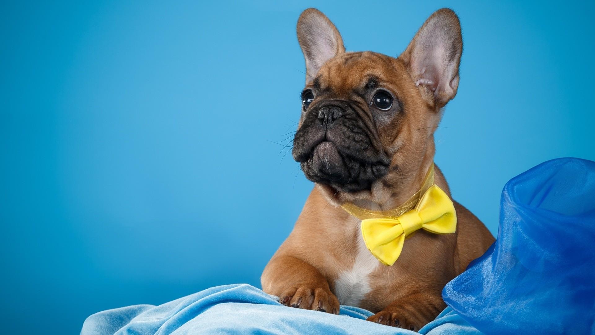 French Bulldog High Quality