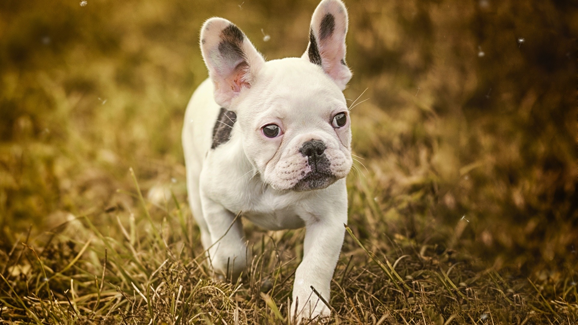 French Bulldog Wallpaper and Background