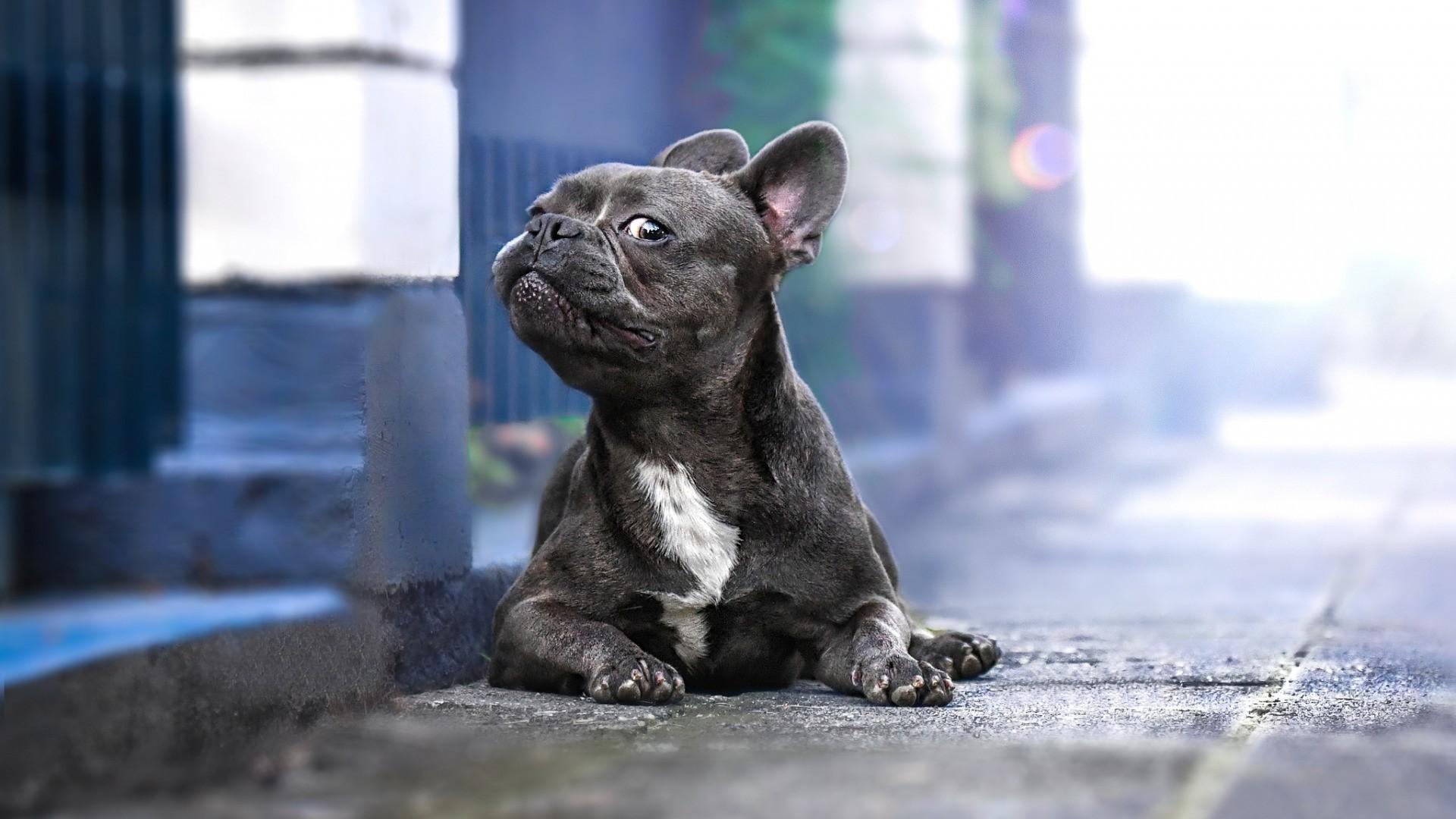 French Bulldog wallpaper photo hd