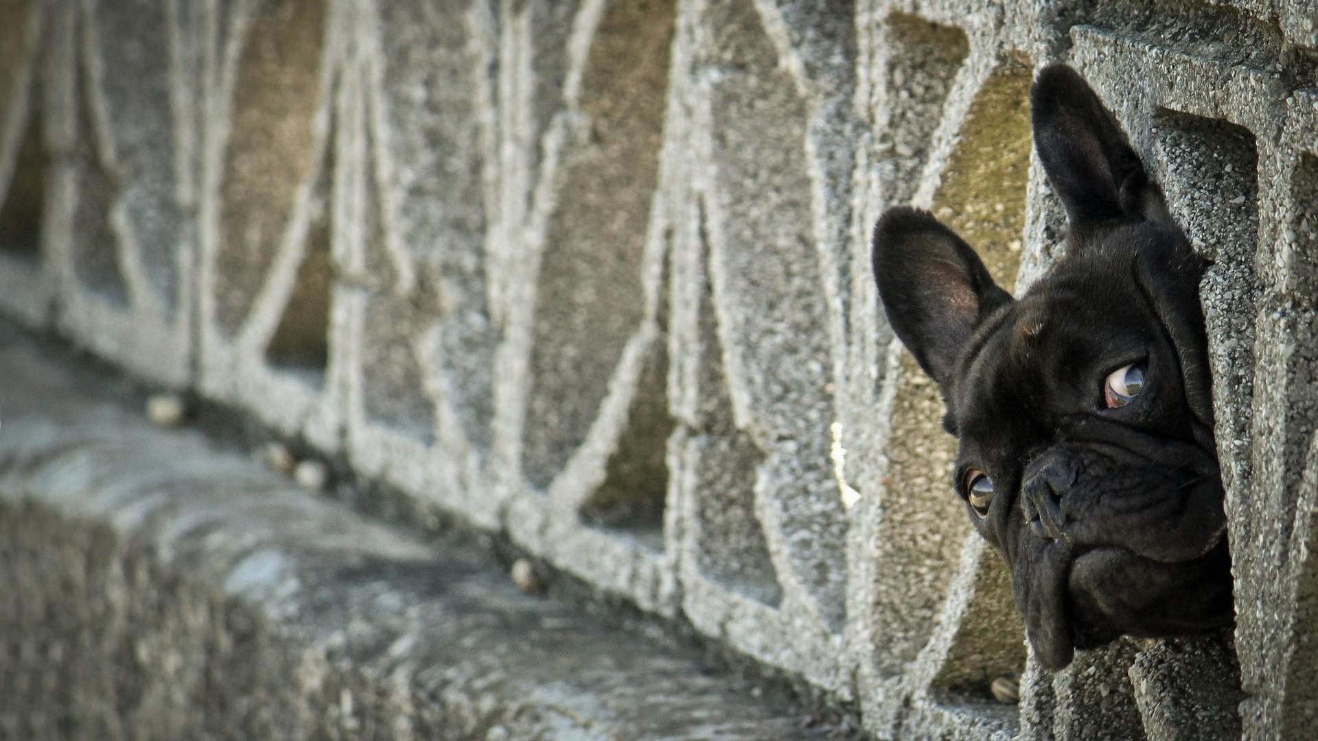 French Bulldog Wallpaper Picture hd