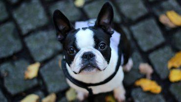 French Bulldog PC Wallpaper