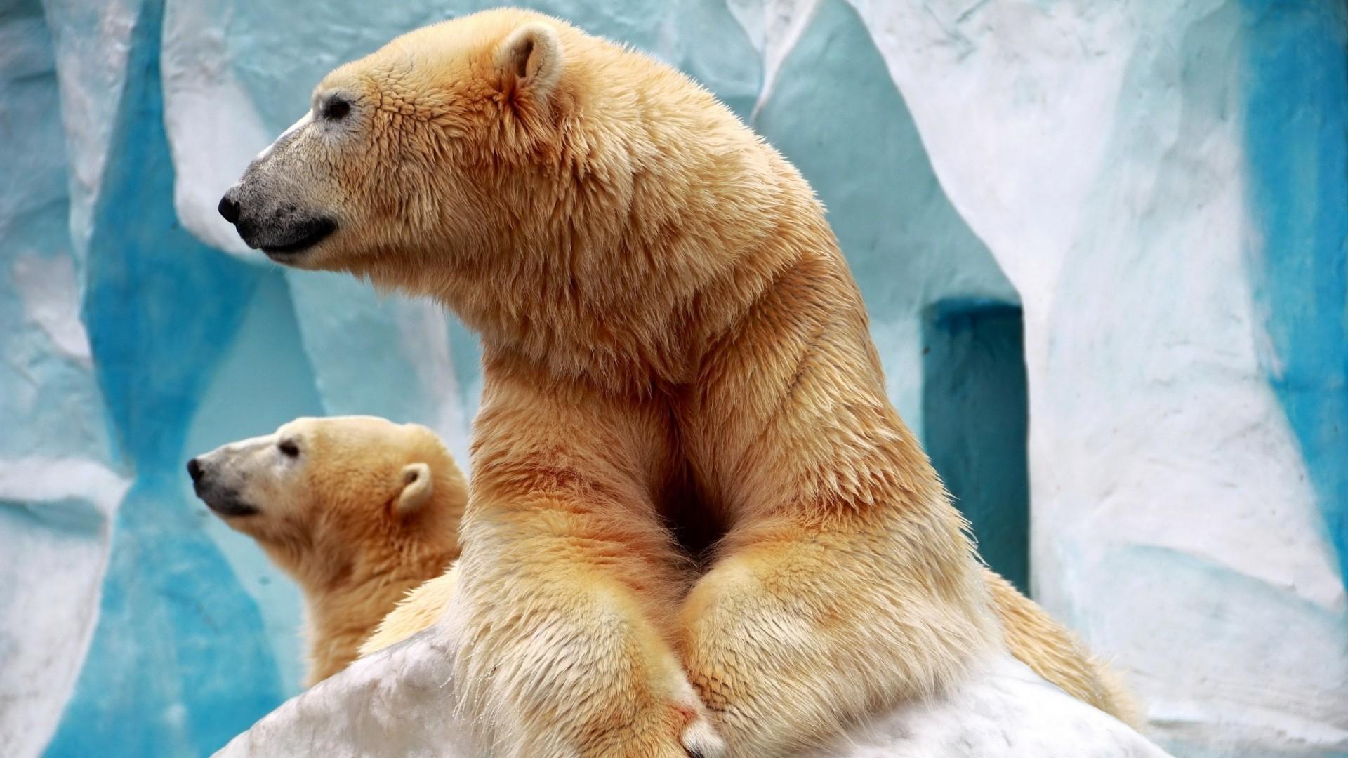 Polar Bear hd wallpaper download