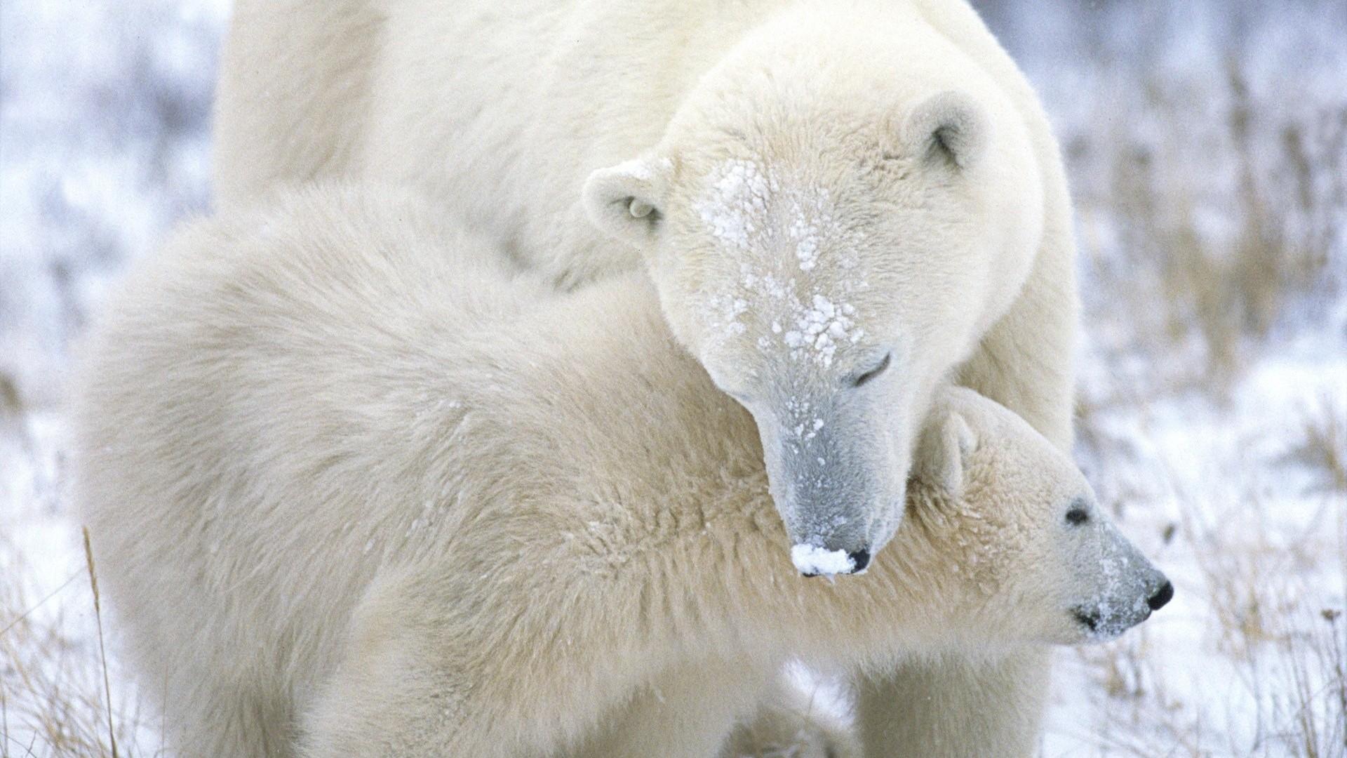 Polar Bear Wallpaper theme