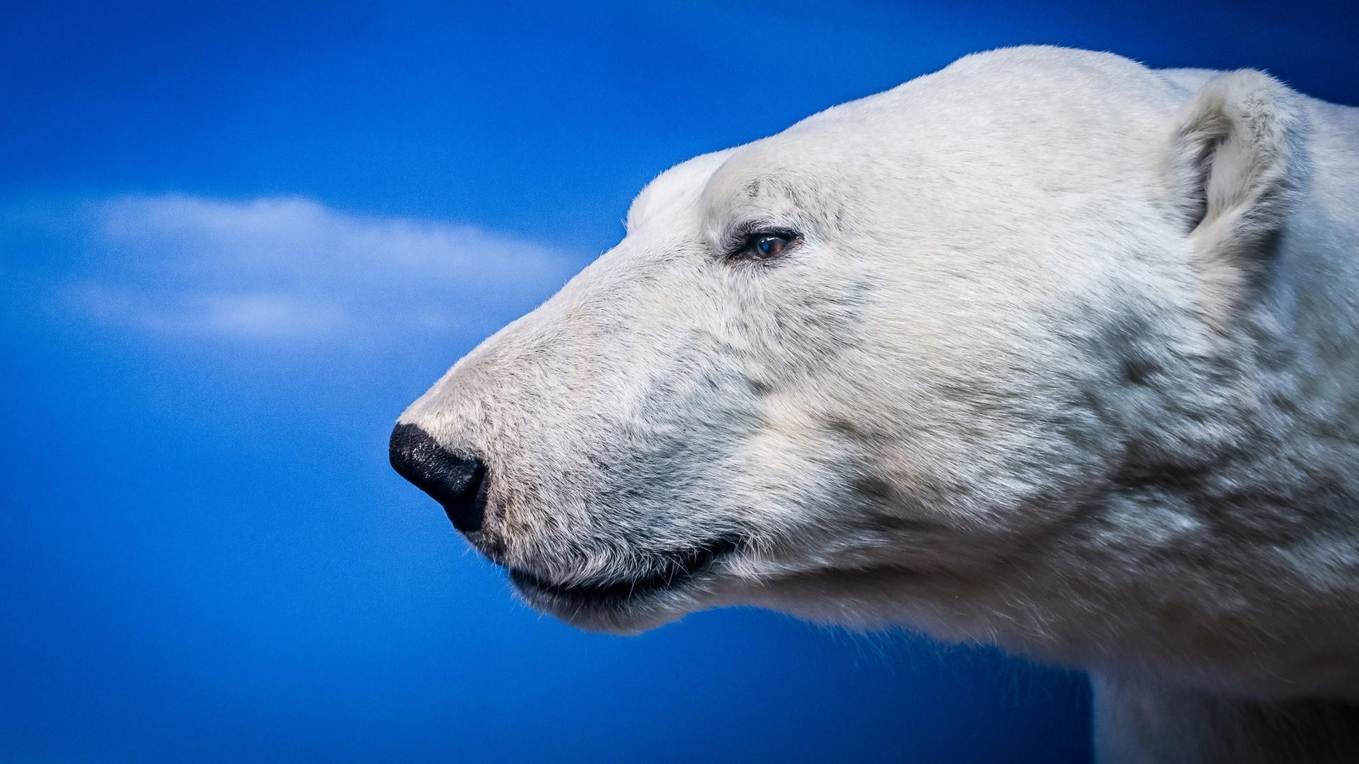 Polar Bear computer wallpaper