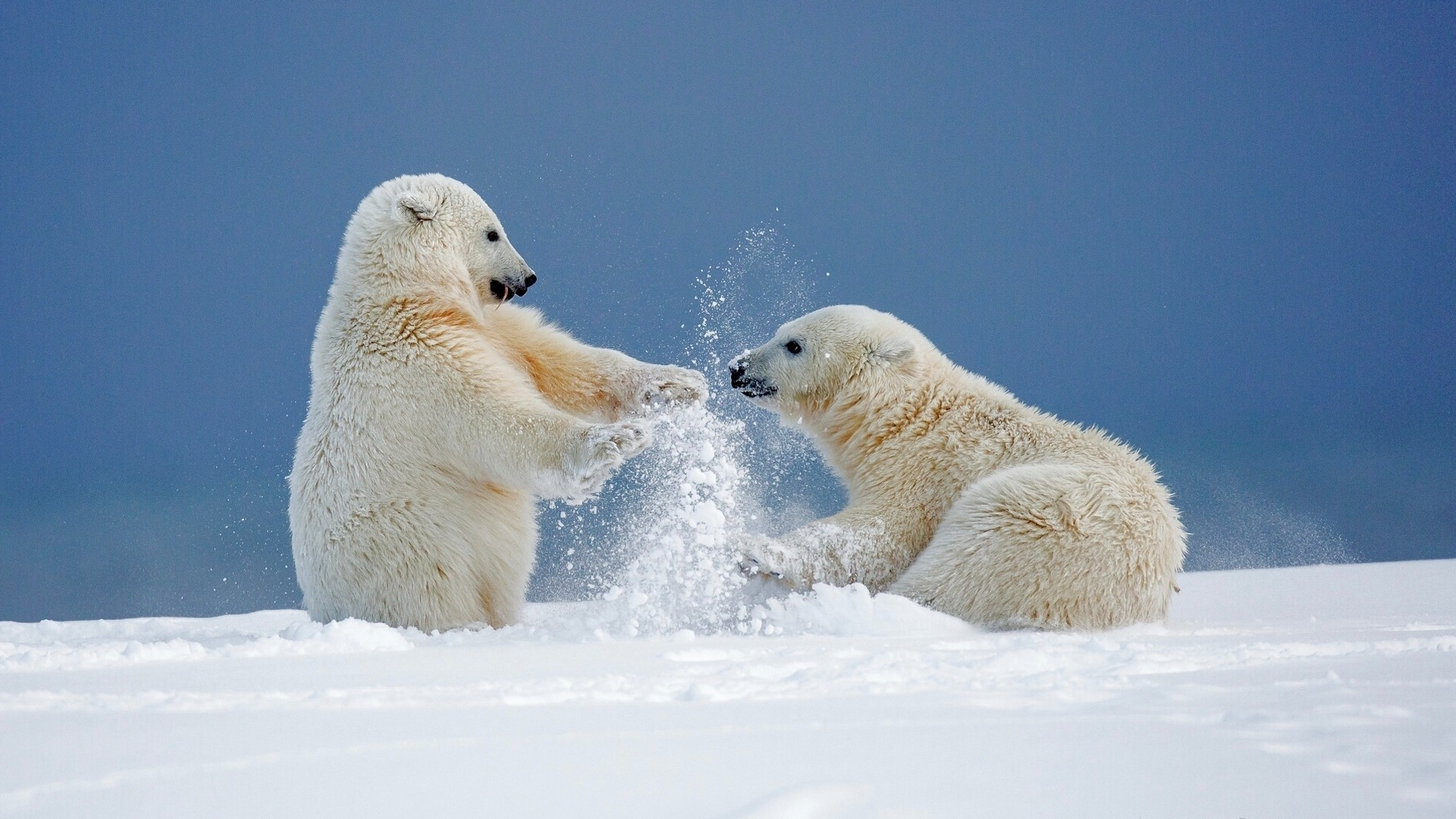 Polar Bear hd desktop wallpaper