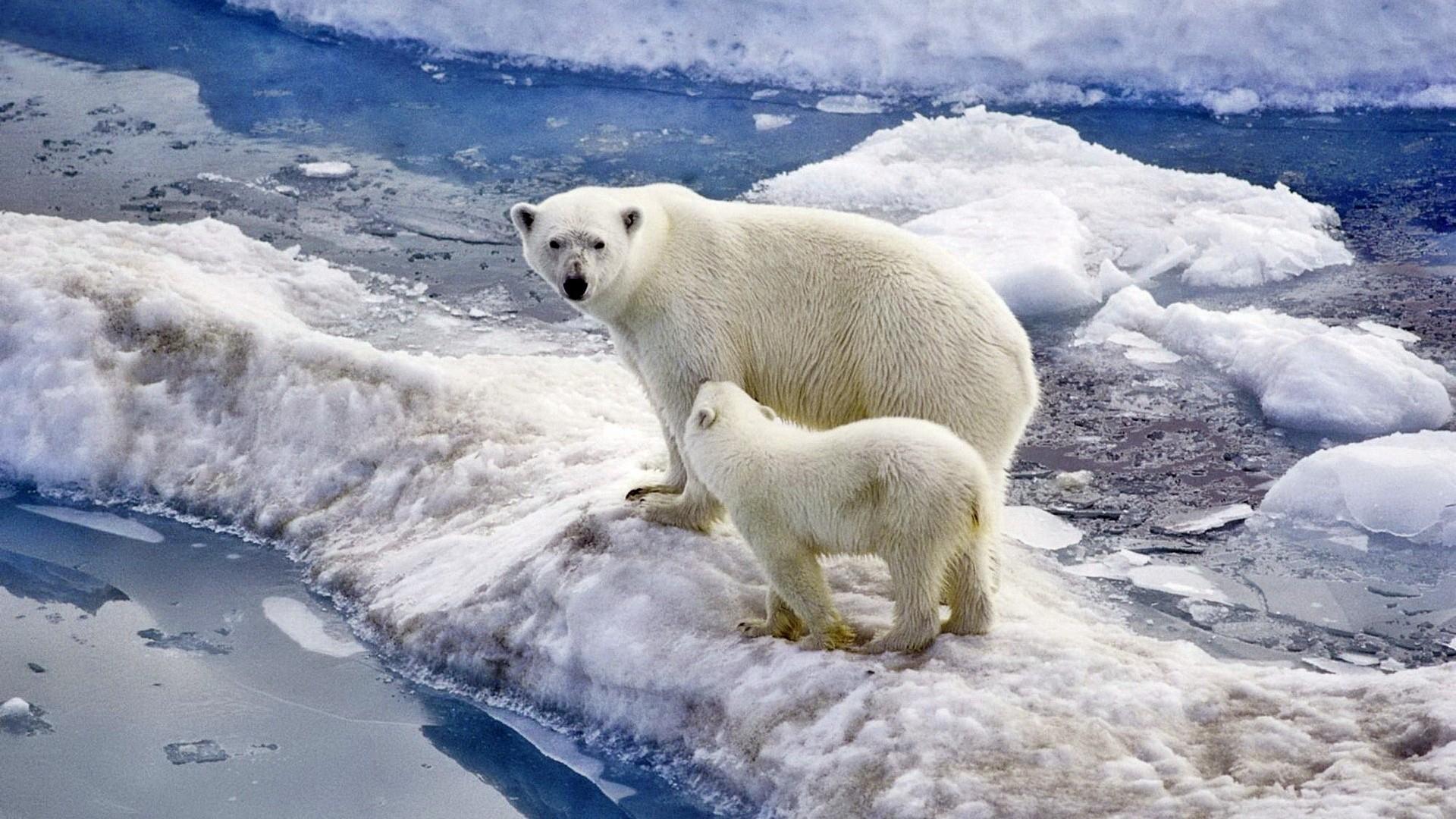 Polar Bear Full HD Wallpaper