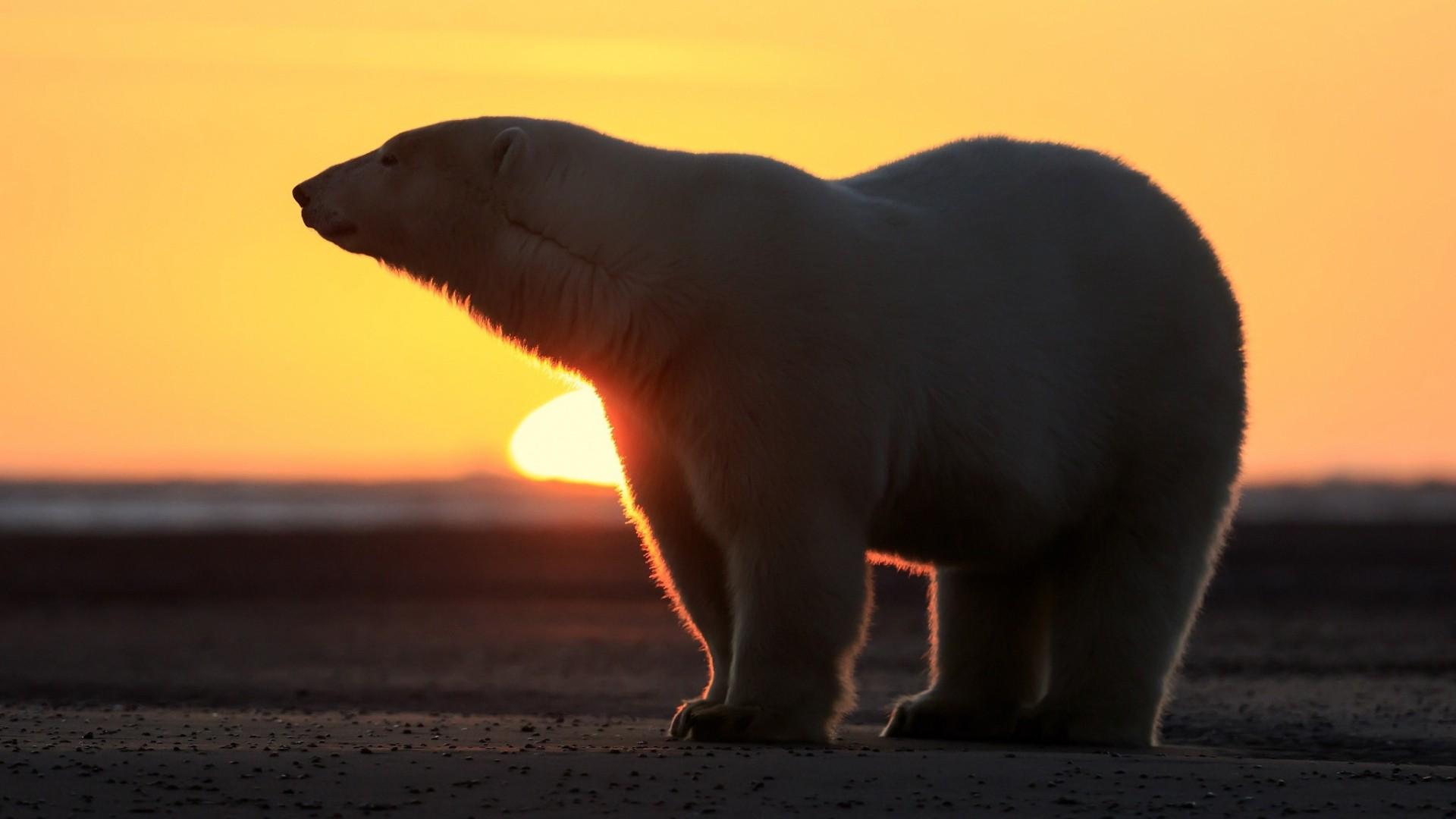 Polar Bear PC Wallpaper