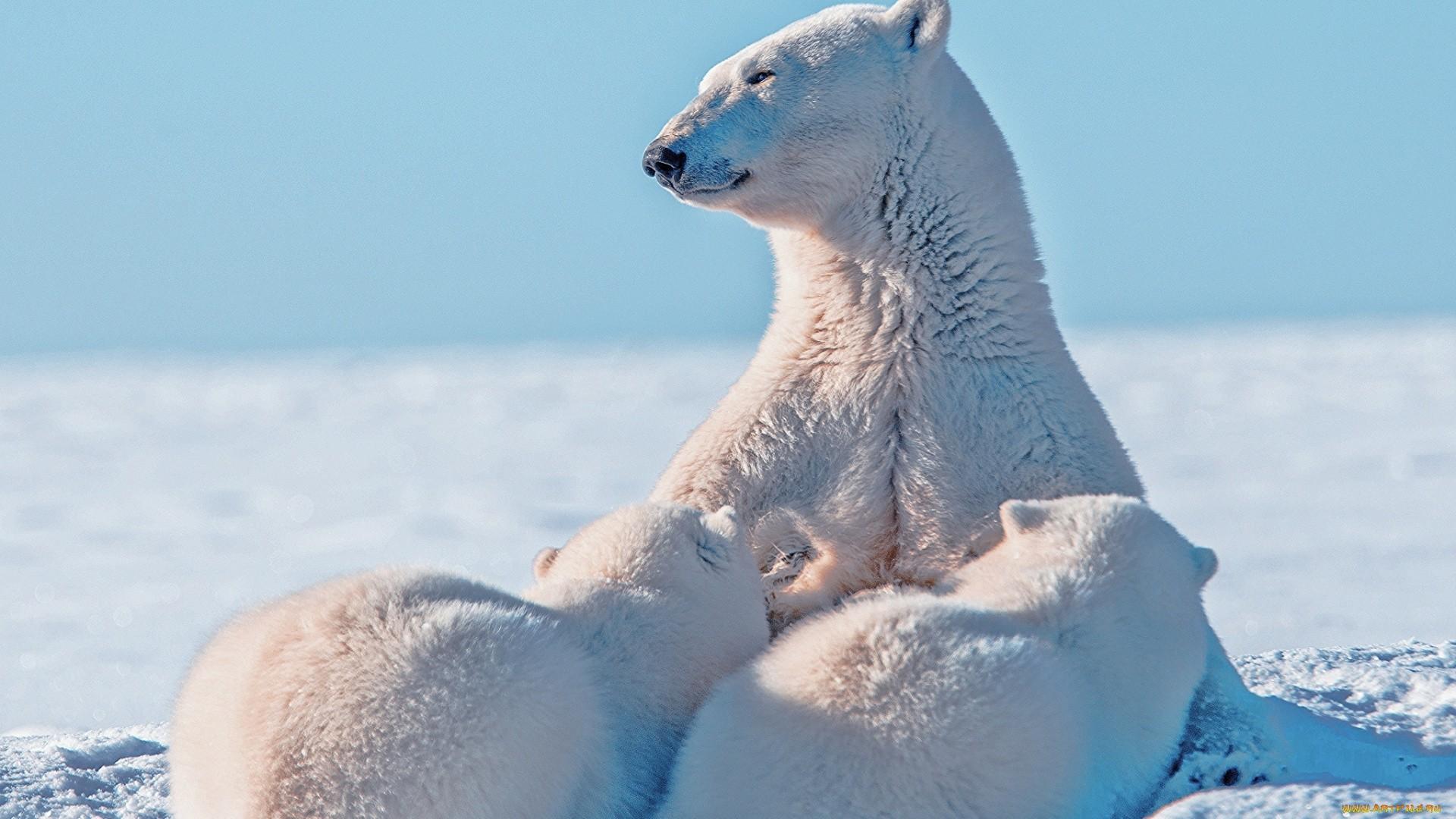 Polar Bear Wallpaper and Background