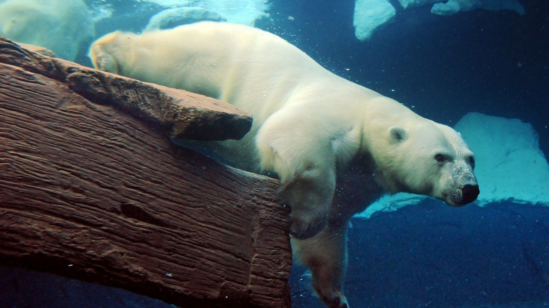 Polar Bear wallpaper photo hd