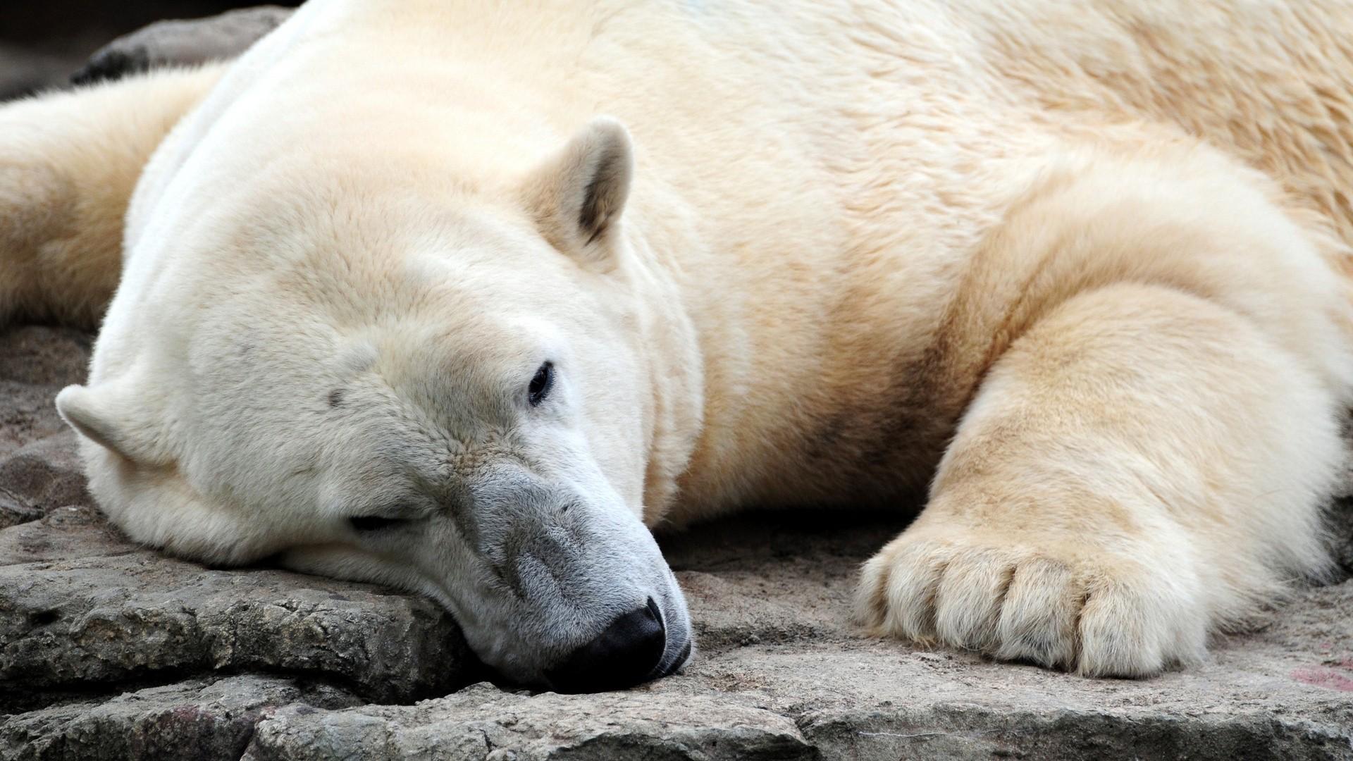 Polar Bear Wallpaper Picture hd