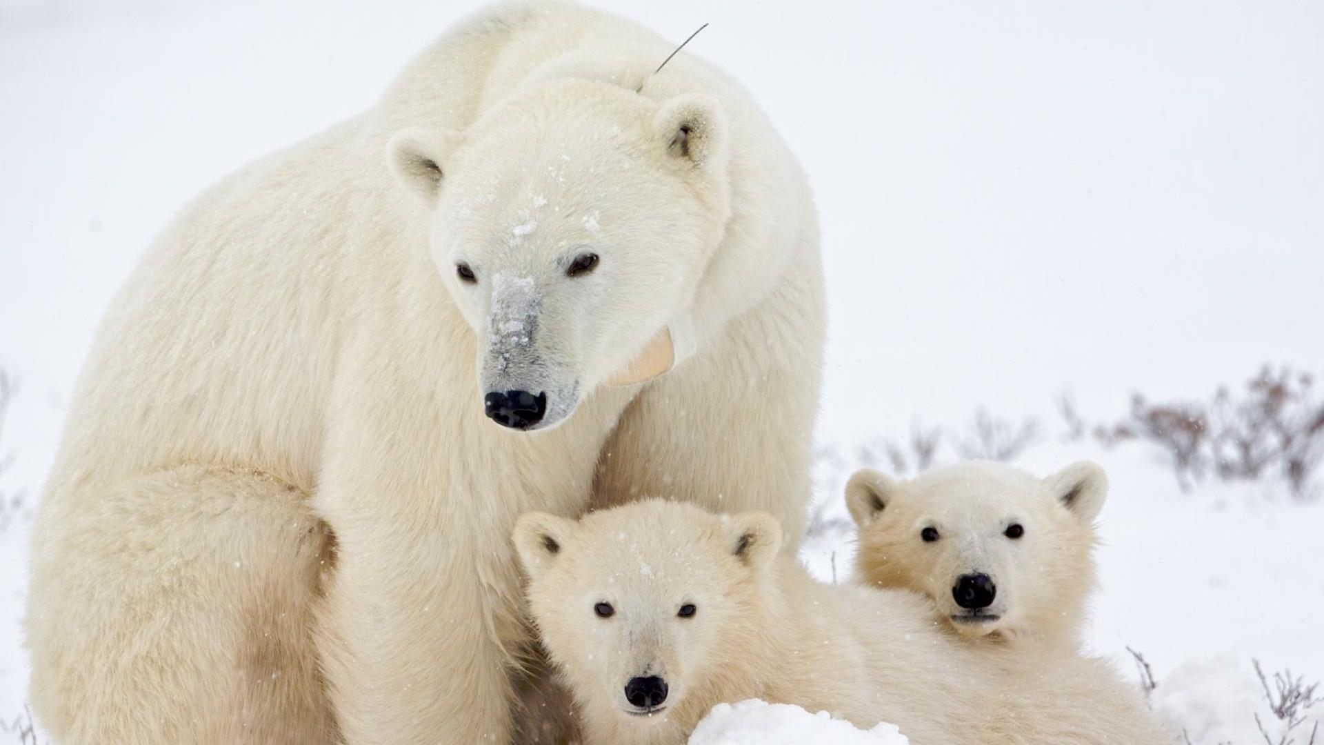 Polar Bear Desktop Wallpaper