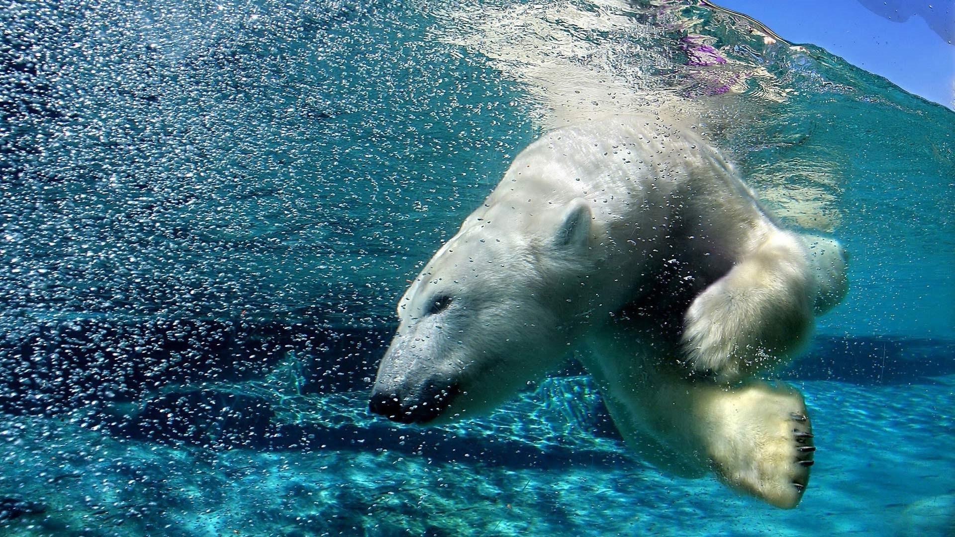 Polar Bear HD Wallpaper