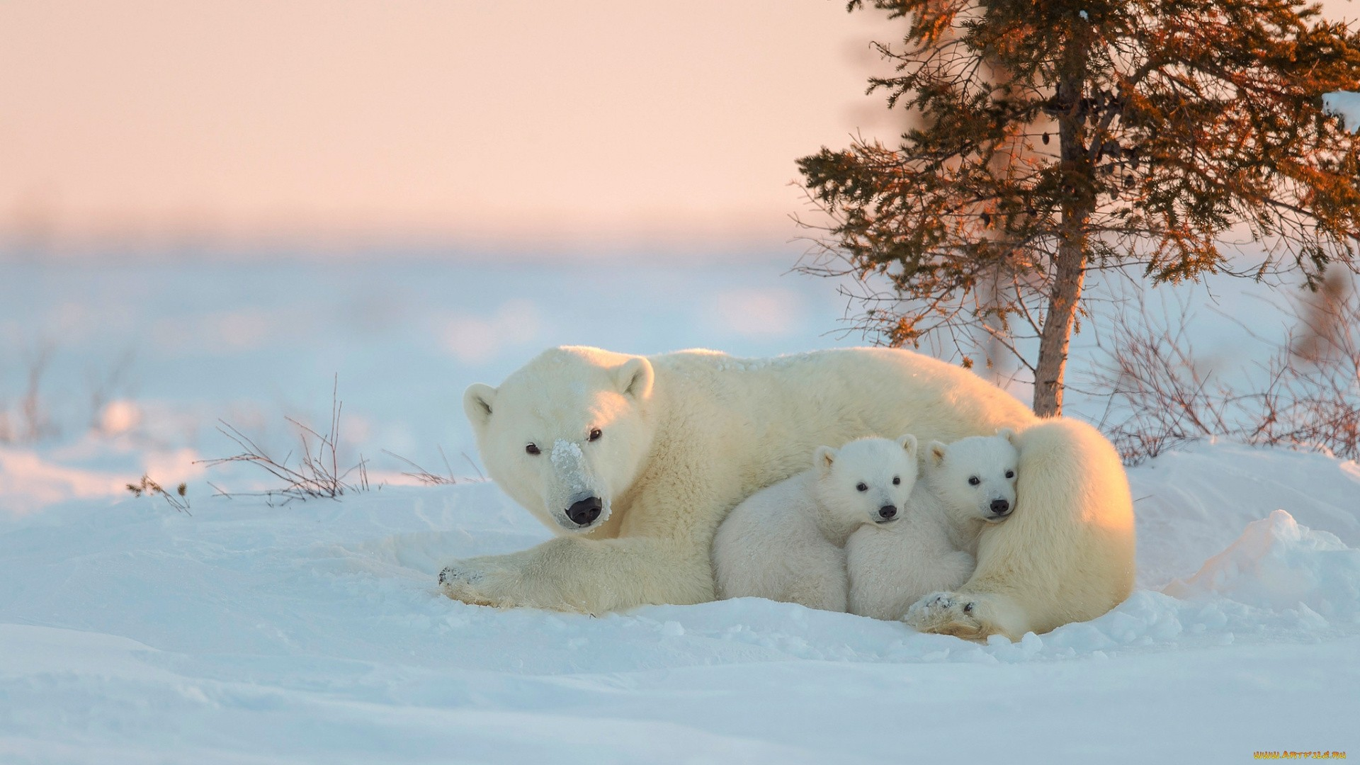 Polar Bear Wallpaper image hd