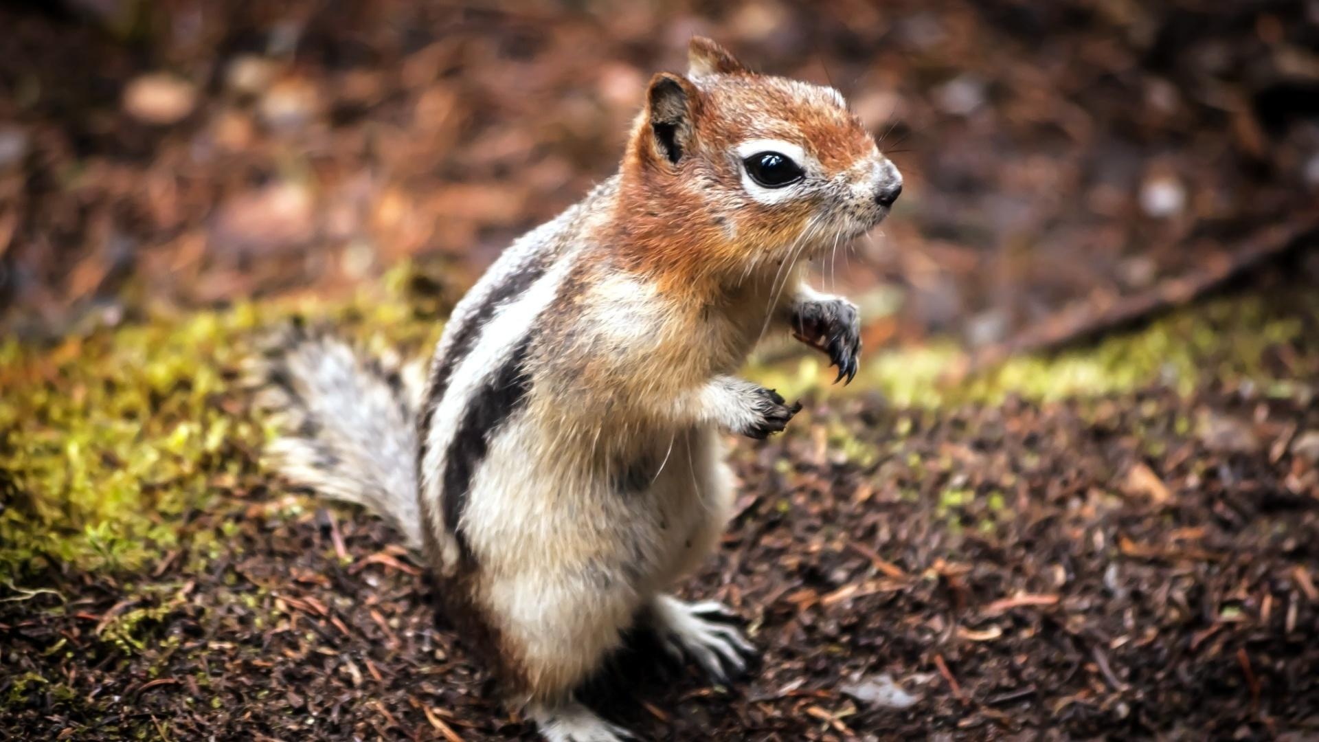 Chipmunk Picture
