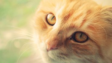 Ginger Cat Wallpaper