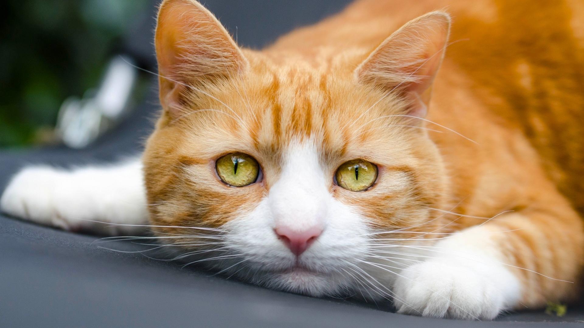 Ginger Cat Wallpaper