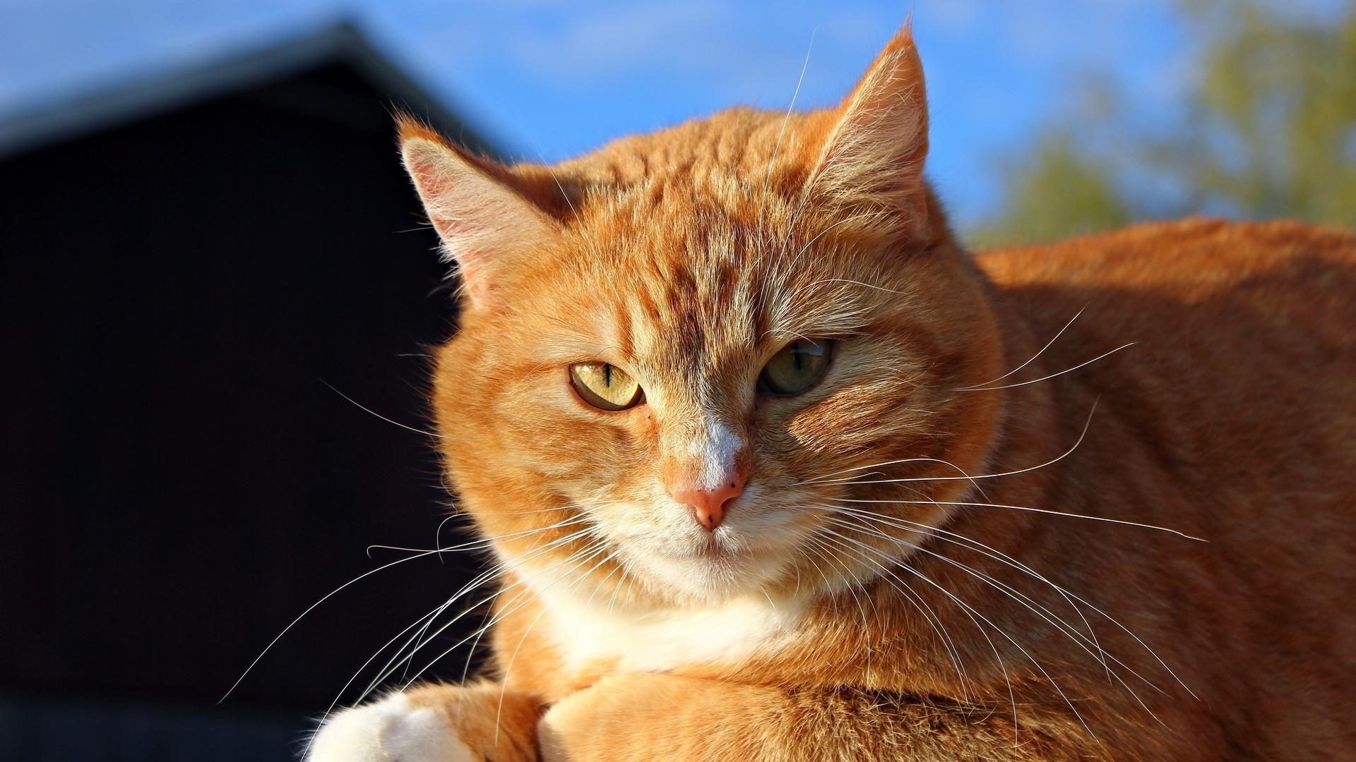 Ginger Cat Image