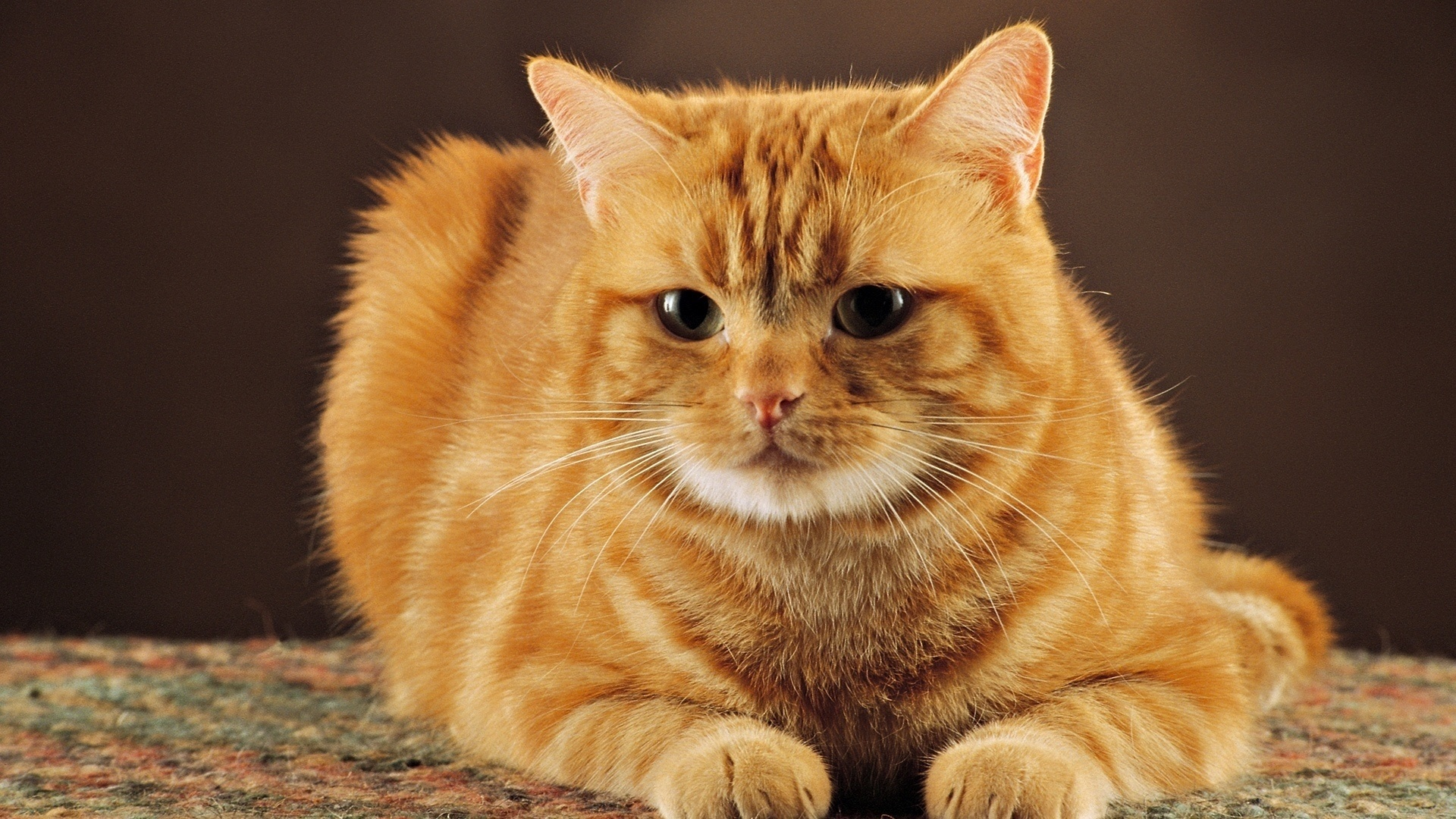 Ginger Cat Picture