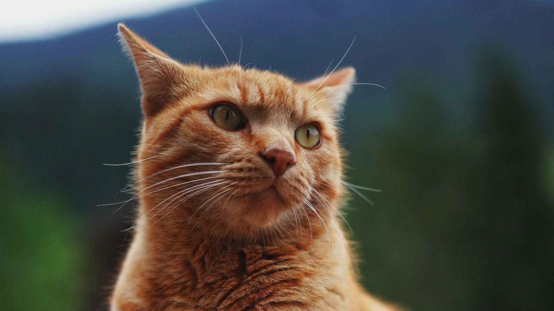 Ginger Cat HD Wallpaper