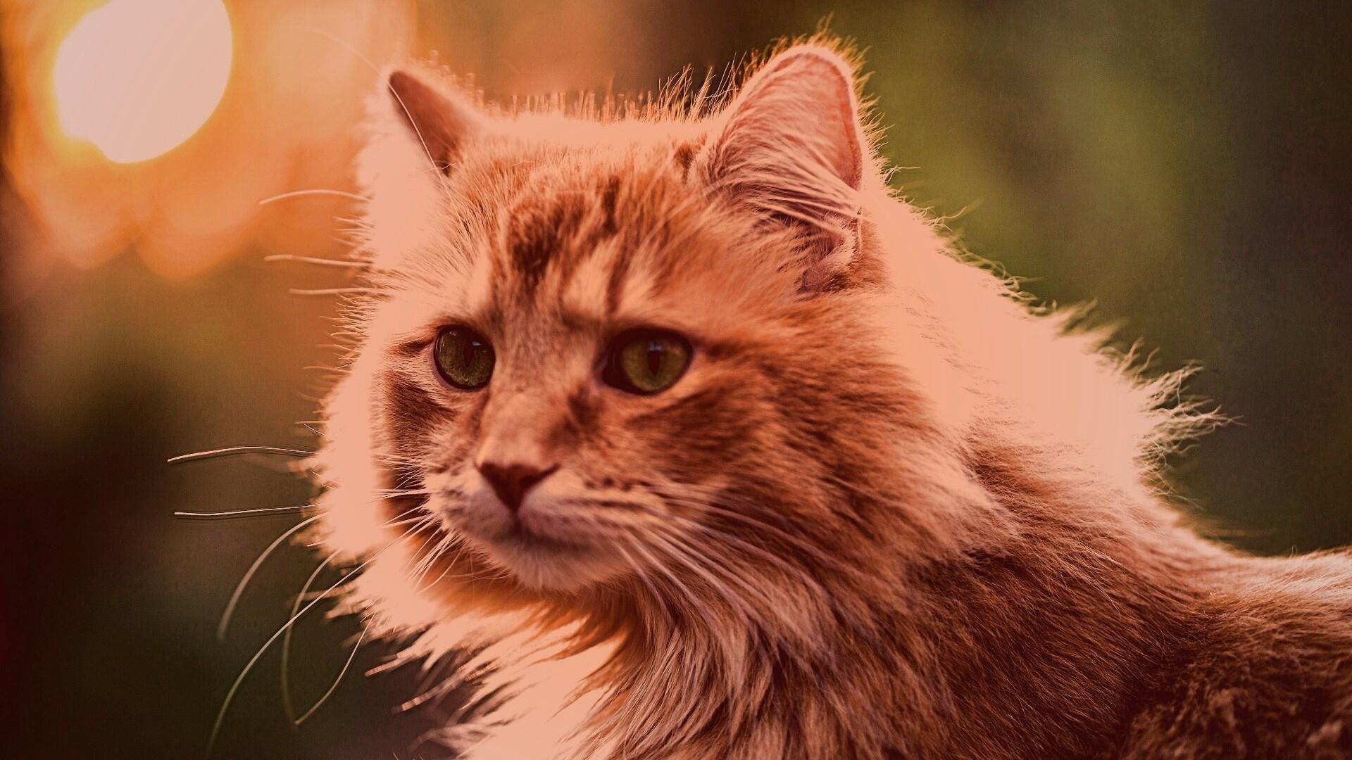 Ginger Cat Desktop Wallpaper