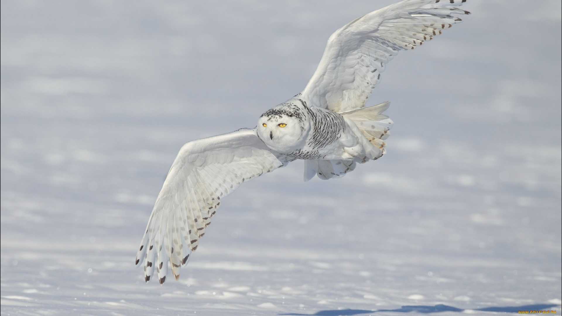Polar Owl HD Wallpaper