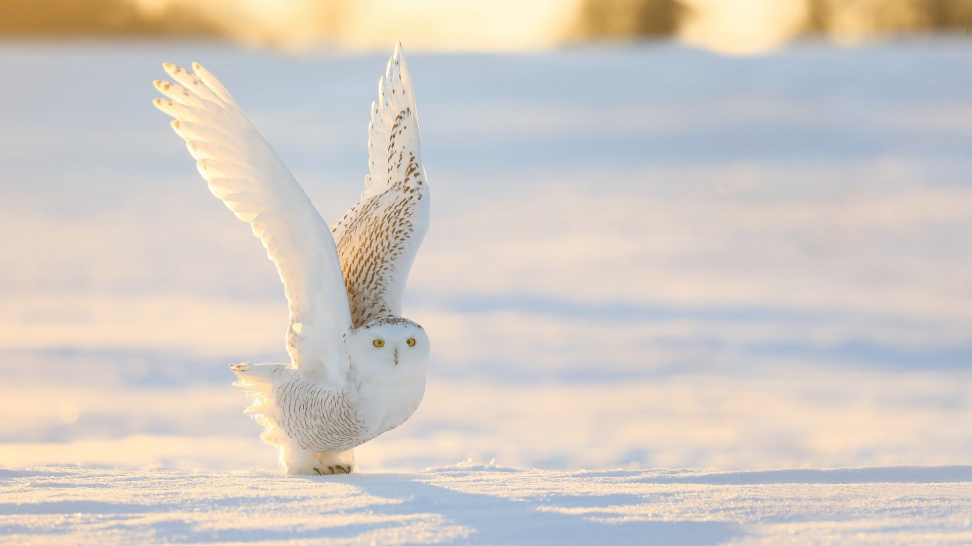 Polar Owl computer wallpaper