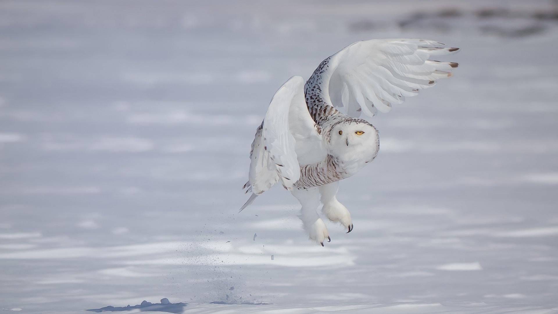 Polar Owl Pic