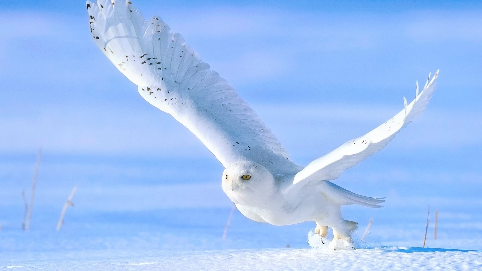 Polar Owl Wallpaper