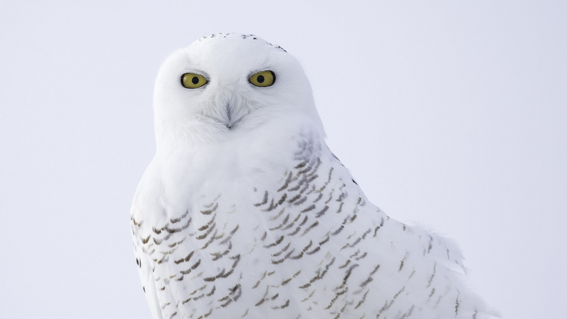 Polar Owl Picture