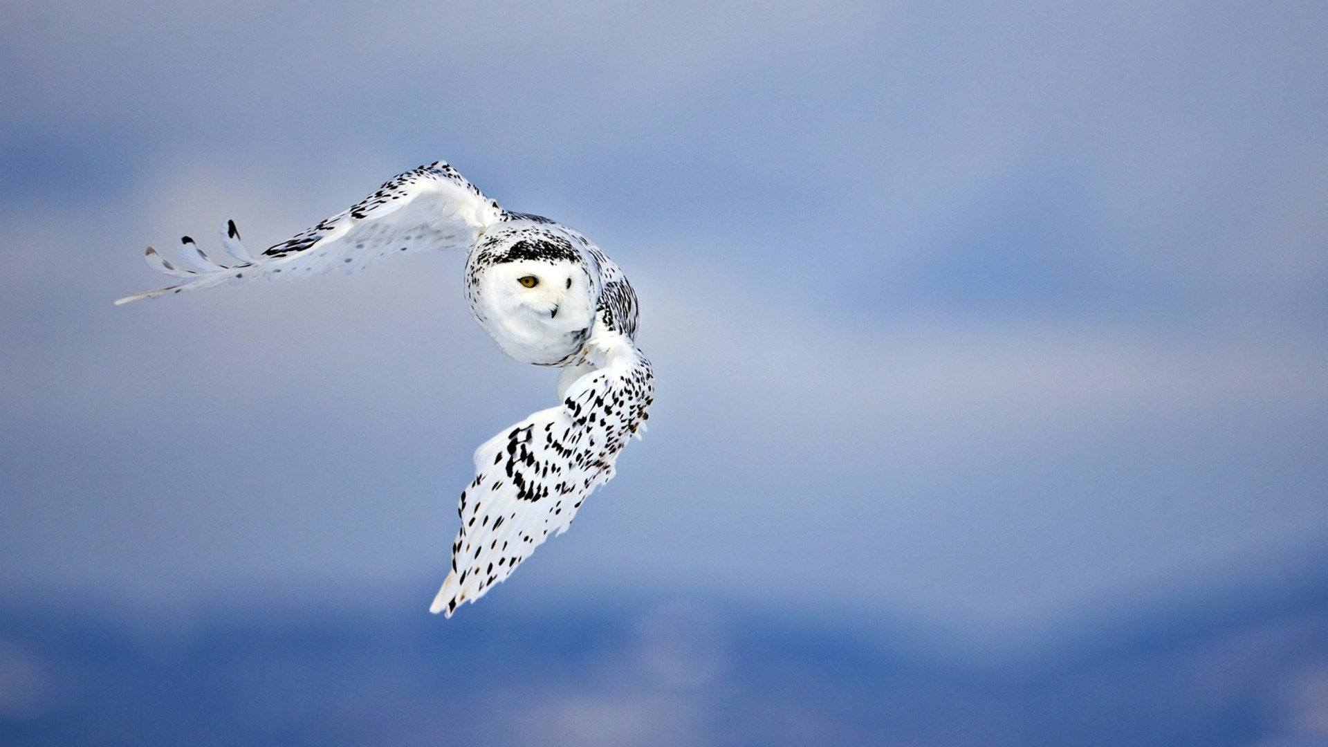 Polar Owl Background