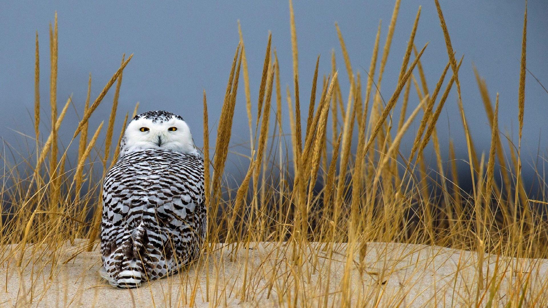 Polar Owl Image