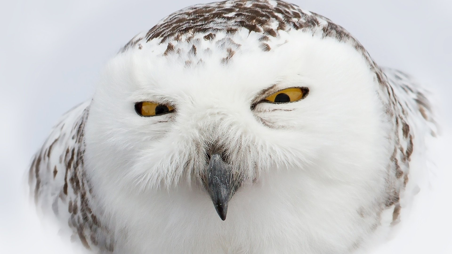 Polar Owl Wallpaper theme