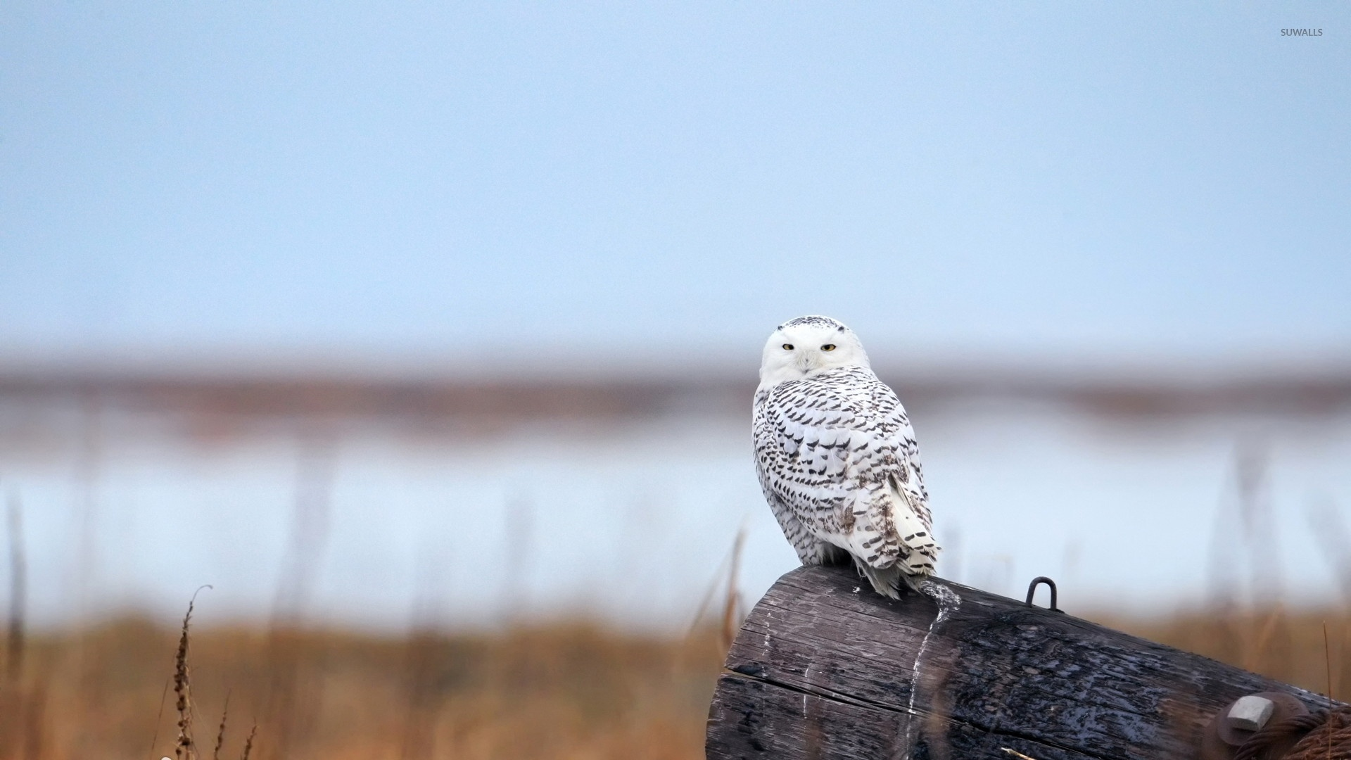 Polar Owl wallpaper photo hd