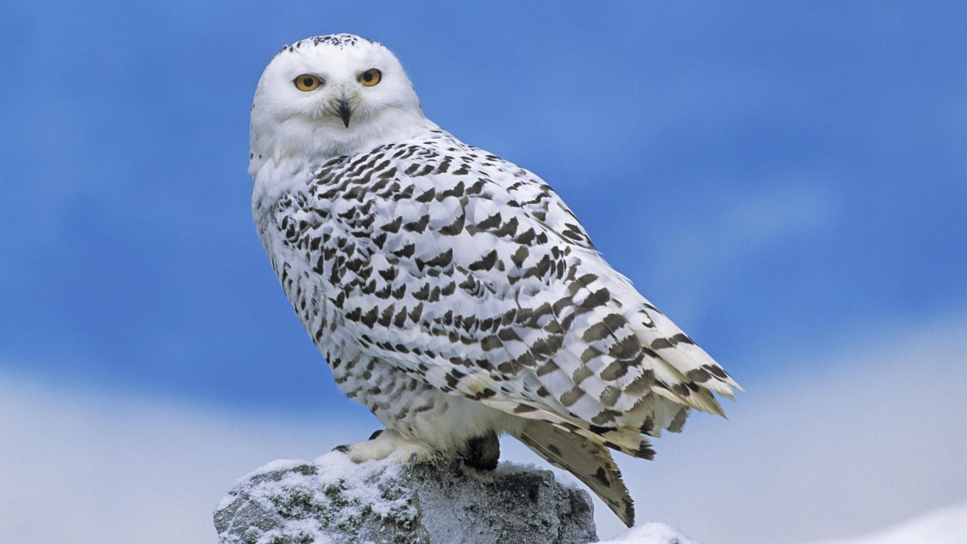 Polar Owl desktop wallpaper hd