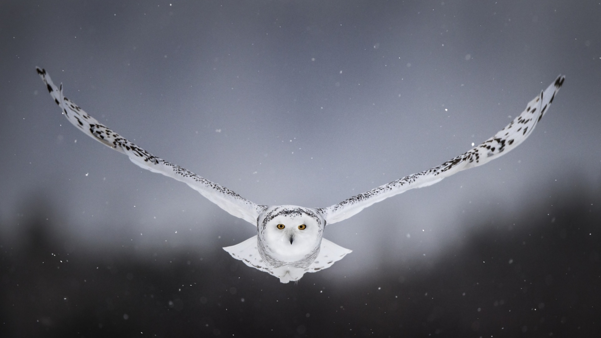Polar Owl wallpaper for pc
