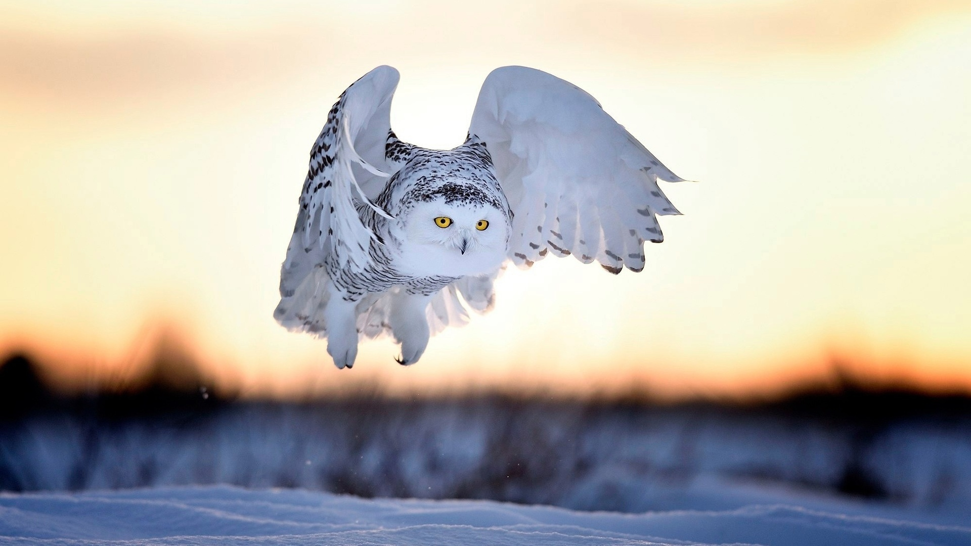 Polar Owl wallpaper for desktop
