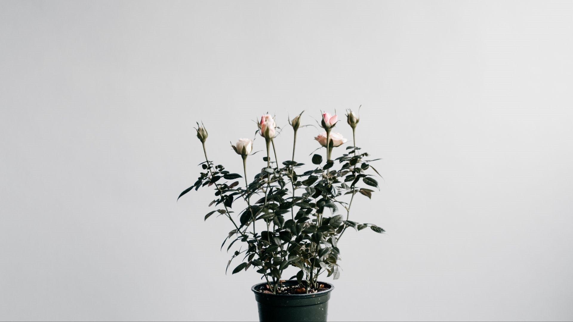Flower Minimalist wallpaper for computer