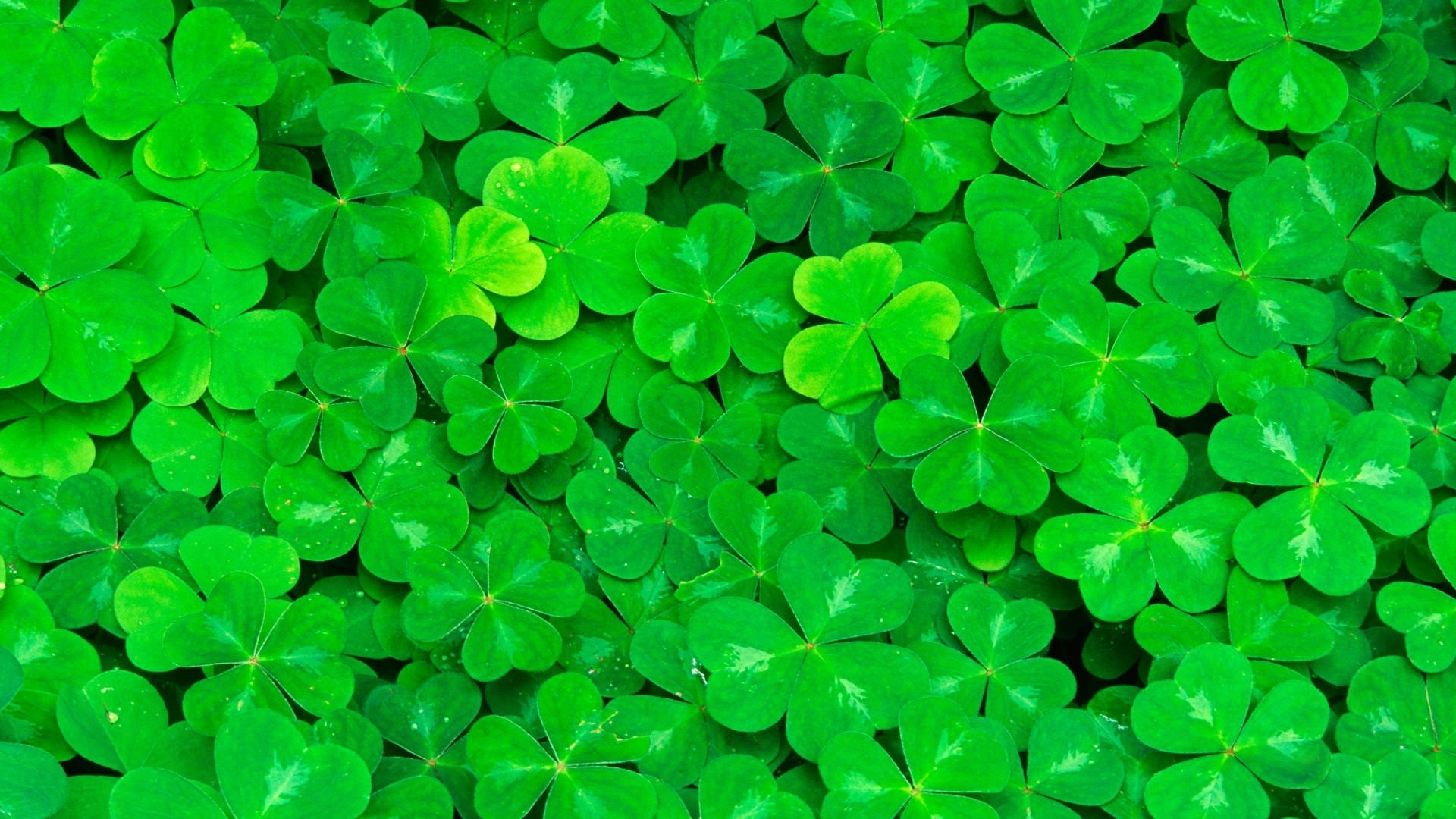 Green Clover Pic