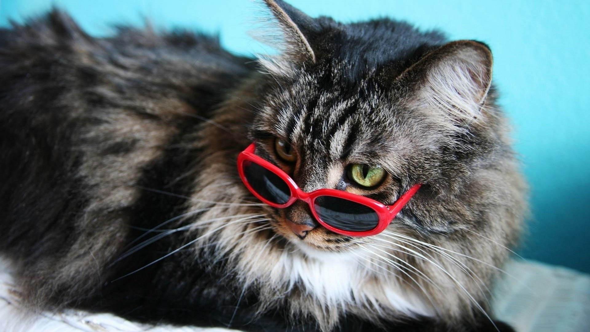 Cat With Glasses wallpaper for computer